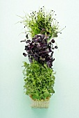Pea, radish and onion sprouts