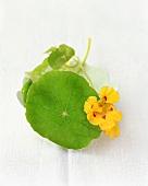 Nasturtium with yellow flower