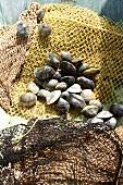 Fresh clams on a net