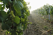 Chardonnay grapes in a vineyard in France