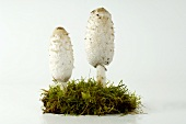 Two shaggy ink caps (Coprinus comatus)