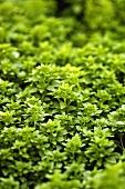 Small-leaved basil (Ocimum basilicum compactum)