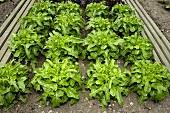 Loose-leaf lettuce in the field