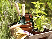 Garden tools and herbs in wooden box
