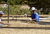 Coffee processing: hulling dried beans