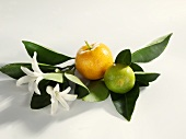 Lime and mandarin orange on leaves with blossom