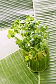 Daikon cress on a banana leaf