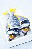 Two yellowfin seabream on ice