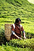 Woman picking tea in the Cameron Highlands, Malaysia
