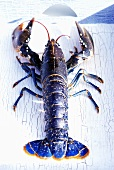 A live lobster