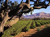 Vineyard in Santa Maria Valley, California