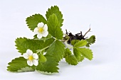 A wild strawberry plant with flowers