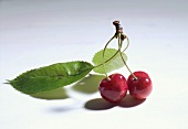 Pair of cherries with leaves