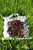 Elderberries on a tray in grass