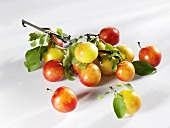 Gelb-rote Pflaumensorte mit Zweig