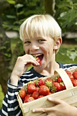 Blond boy with basket of strawberries biting into strawberry