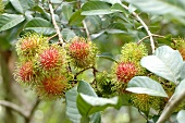Rambutans on the tree
