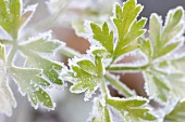 Frosted parsley