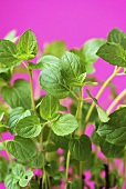 Fresh mint against pink background