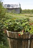 Strawberry plants in a wooden trough in a garden