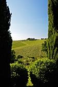 Weinlandschaft (Solaia Weingarten mit Weingut Antinori)