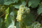 Silvaner grapes on a vine