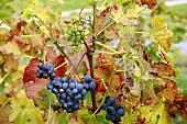 Red wine grapes against autumnal leaves