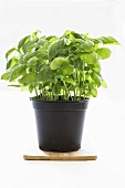 Basil in a plastic pot