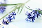 Lavender flowers (close up)