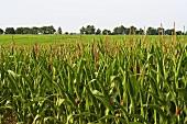 Organic Corn Field