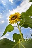 A sunflower in a field