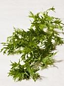 Mizuna (Japanese lettuce)