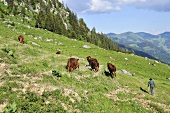 A farmer with a herd of cows in an alpine meadow