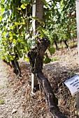 A pinot noir vine