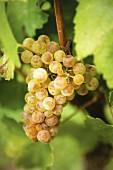 White wine grapes (Chardonnay) on a vine