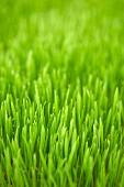 Full Screen of Green Wheat Grass