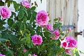 Climbing roses in a farmer's garden