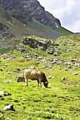 Cows on a mountainside