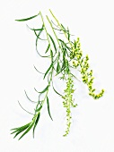 Tarragon with flowers