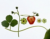 Strawberry plant with leaves, flowers and fruit