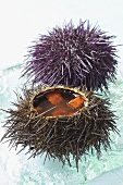 Intact and opened sea urchin