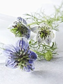 Love-in-a-mist with flowers (Nigella damascena)