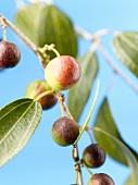 Jujube (Chinese date) on twig with leaves