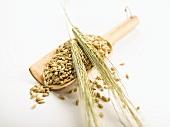 Grains of barley in a wooden scoop, ears of barley