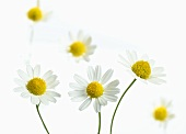 Several chamomile flowers