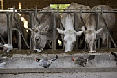 Cows feeding in a stall with hens