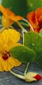 Yellow and orange nasturtium flowers