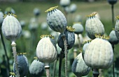 Opium poppy seed heads in the field