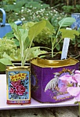 Young brassica plants in tea tins