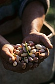 Hands holding freshly picked pistachios
